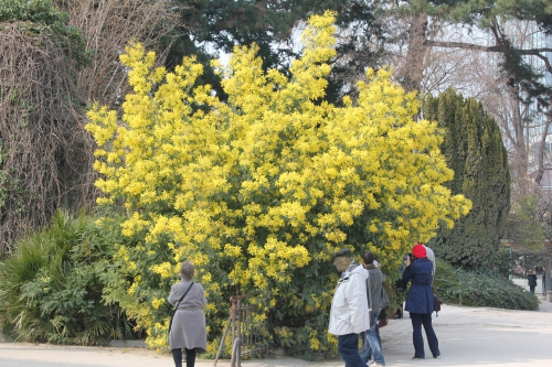 acacia decurrens paris 18 mars 2015 144 (2).jpg