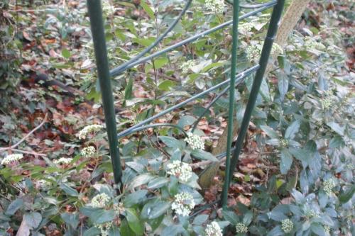 6 viburnum tinus veneux 17 dec 2017 019.jpg