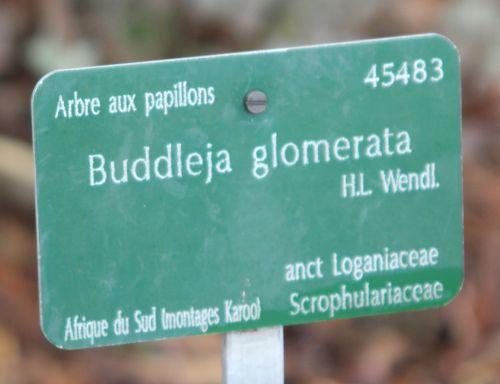 2 buddleia glomerata paris 31 déc 2011 078 (1).jpg
