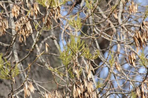 fraxinus angustifolia paris 31 janv 2015 133 (2).jpg