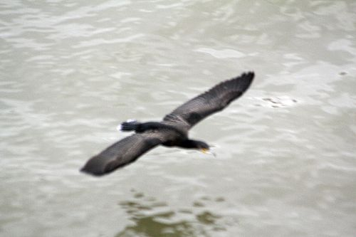 5 cormoran vol paris 10 nov 2012 p 010 (4).jpg