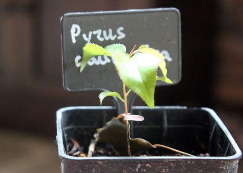 pyrus caucasica semis 29 avril 2012 015.jpg