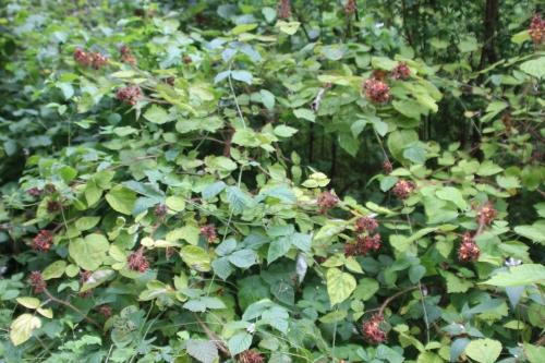 7 rubus phoenicolasius romi 5 août 2016 069.jpg