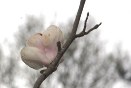 magnolia soul manchu fan gb 9 avril 2012 137.jpg