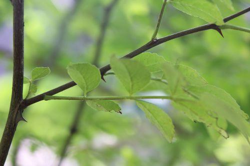 zantho schinifolium veneux 23 sept 2014 017 (5).jpg