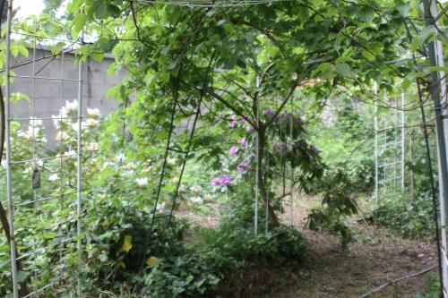 4 rhododendron catawbiense veneux 12 mai 2018 005 (6).jpg