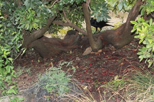 arbutus corneille paris 4 déc  2011 072.jpg