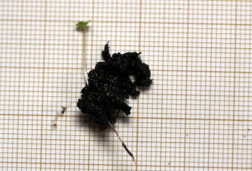 5 eucalyptus parvula 15 fev 2012 012.jpg