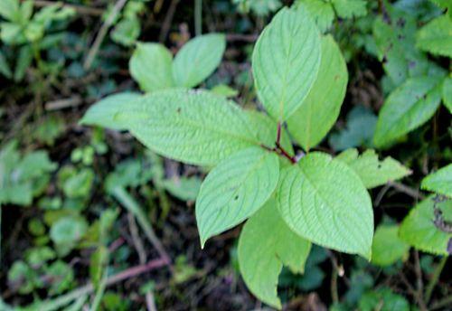 9 cornus alba semis romi 14 sept 2011 p 044.jpg