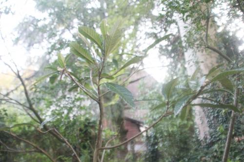 7 eriobotrya oliver veneux 22 sept 2017 005.jpg