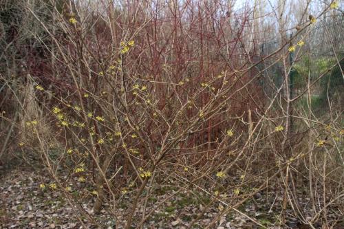 1 hamamelis arnold romi 2 fev 2017 001.jpg