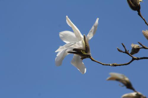 3 magnolia wada's memory gb 25 mars 2012 019.jpg