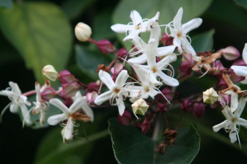 clerodendron trichotomum courtoiseau 11 sept 2010 043.jpg