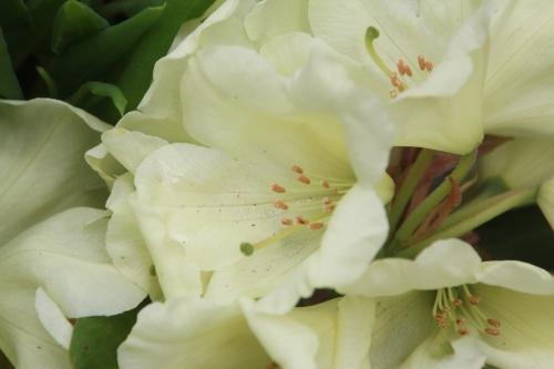 rhododendron Horizon Monarch veneux 2 mai 2017 004.jpg