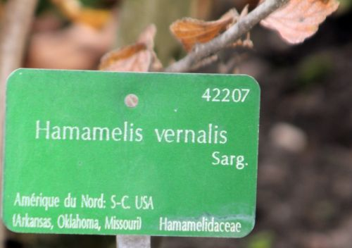 5 hamalelis vernalis paris 10 nov 2012 218.jpg