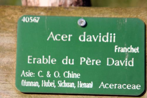 acer davidii paris 16 jan 252.jpg