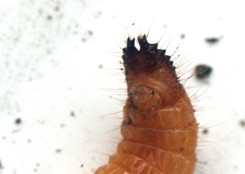 larve taupin z pinces romi 8 nov 030.jpg