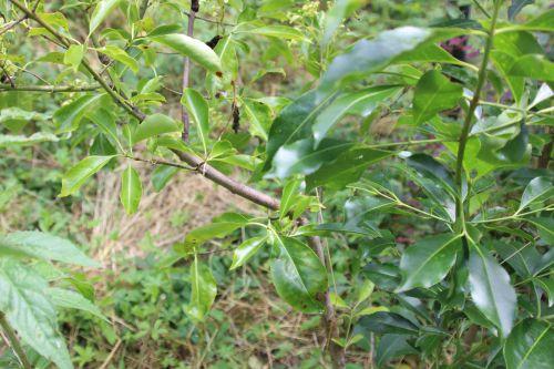 7 euo grandiflorus romi 1 juil 2014 045 (3).jpg