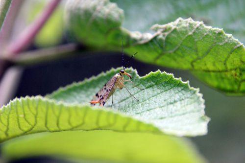 3 mouche scorpion fem romi 9 août 2014 052 (2).jpg