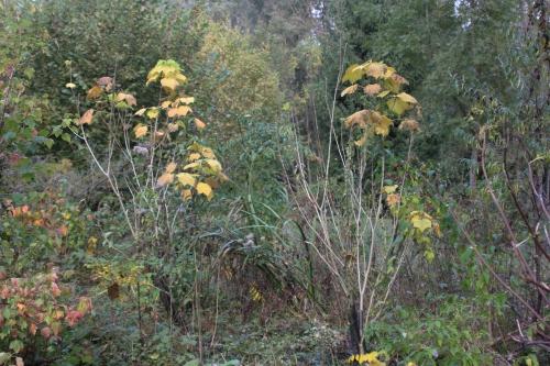 4 hibiscus paramutabilis romi 19 oct 2016 005.jpg