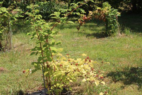 rubus phoenicolasius barres 27 juillet 2013 080 (1).jpg