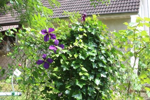 10 clematis jackmanii veneux 30 juin 2016 005 (1).jpg