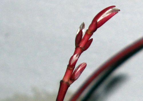 acer conspicuum rec2 5 déc 2012 004.jpg