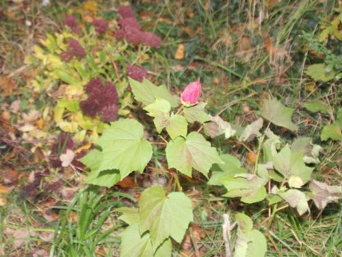 2 hibiscus mutabilis veneux 22 nov 2017 001.jpg