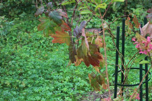 8 quercifolia romi 14 octobre 2013 031 (3).jpg