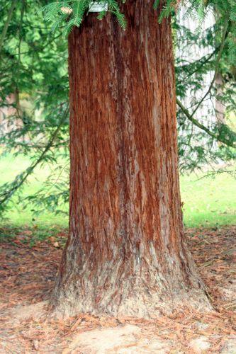 Sequoia sempervirens 3 nov 039.jpg