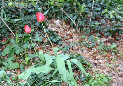 tulipes 10 avril 2012 003.jpg