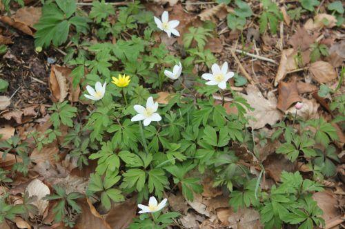 4 anemone nemorosa 13 avril 2013 006.jpg