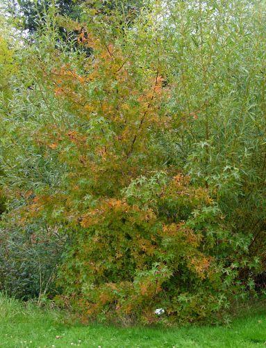 liquidambar ori vert orange marnay 25 sept 2008 076.jpg