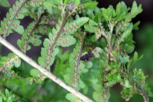 7 athyrium frizelliae sores romilly 22 juil 2012 114.jpg