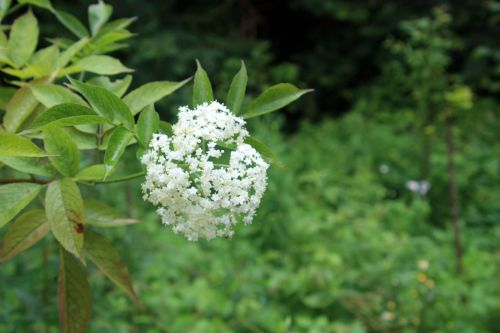 nigra aurea 4 romi 3 juillet 021.jpg