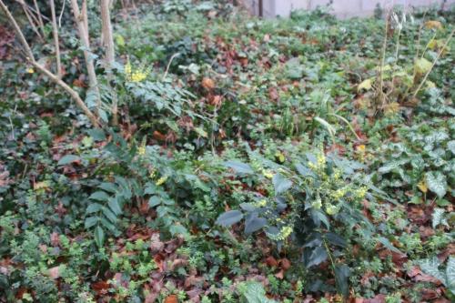 1 mahonia hivernant veneux 1 janv 2016 031.jpg