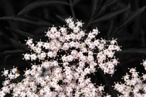 5 black lace jardiland 1 juin 2012 005.jpg