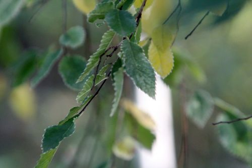2 ulmus parvifolia gb 21 oct 2012 191 (1).jpg