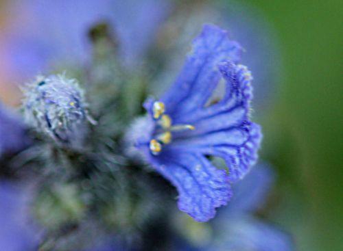 8 ajuga fleur romi 25 avril 2011 p 007.jpg
