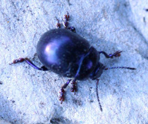 7 chryso coleo noir romi 28 sept 082.jpg