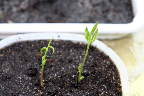 pistacia veneux 25 fev 003.jpg