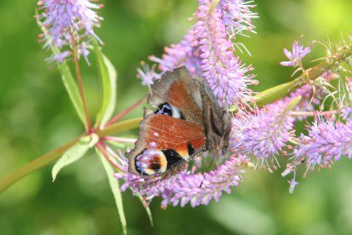 paon romilly 22 juil 2012 018.jpg