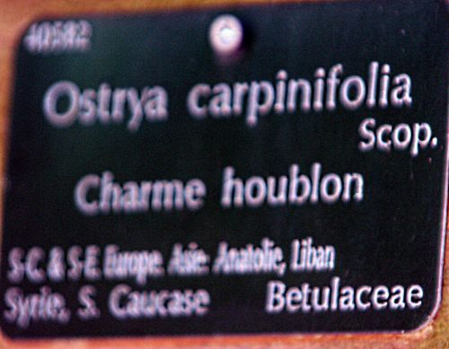 ostrya étiq paris 16 jan p 352.jpg