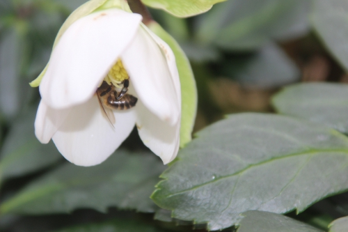 abeille hellébore veneux 1 fev 2017 001 (1).jpg