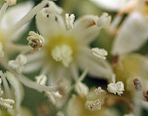 13 hydrangea bretscn fleur  28 mai 2014 p 002.jpg