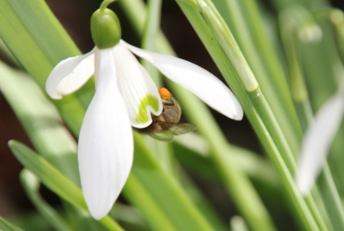 16 abeille veneux 28 fev 2015 033.jpg