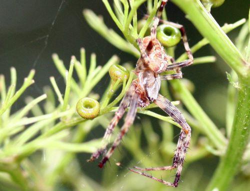 araignée chinensis 17 août 2008 012.jpg