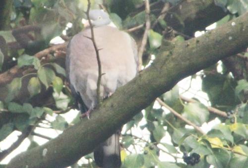 6 pigeon ramier veneux 18 janv 2016 003.jpg