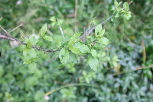 11 yponomeuta euonymus europaeus veneux 6 juin 2017 016 (3).jpg