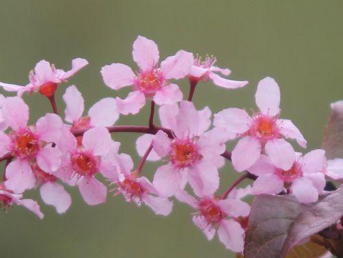 prunus padus col rec romi 13 avril 2012 052.jpg